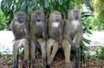 Baboons 1110