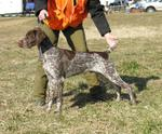 German Short Haired Pointer 141