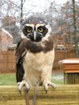 Owl Spectacled 3006