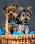 Yorkshire Terriers 163